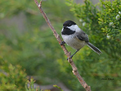 Black-capped Chickadee (colorob) Tags: colorado blackcappedchickadee littleton coloradowildlife colorob poecileattricapilla nikond800e