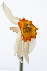 Shrivelled Beauty (jo clegg) Tags: orange white flower nature beauty canon dead daffodil dried narcissus wrinkled shrivelled canon5dmarkii