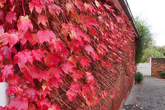 Leaf Covered Wall (Joel Bramley) Tags: autumn red leaves wall leaf
