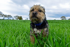 Bramble.... (Dafydd Penguin) Tags: portrait dog pets dogs nikon 28mm border nikkor f28 bramble borderterrier d600 primelens