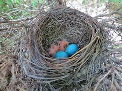 Robins - Day 1 (samfeinstein) Tags: birds canon robins eggs chicks s100