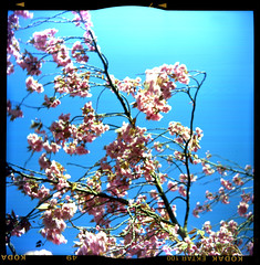 cherry blossom (pho-Tony) Tags: italy color colour 120 6x6 analog vintage mediumformat munich square italian kodak tube f45 negative collapse medium format munchen analogue expired astor rollfilm steinheil ektar 75mm c41 ferrania prontor cassar retract kodakektar prontors ferraniaastor