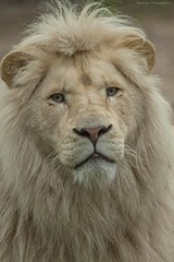 White lion - Afrikaanse witte leeuw (Berendje Photography1) Tags: white male animal closeup lion wildanimal leader staring wit dieren dier leeuw ouwehandsdierenpark animalphotography wildphotography afrikaanseleeuw dierenfotografie ouwehandszoo flickrbigcats wilddier ouwehandszoorhenenthenetherlands