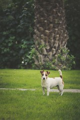 (nmastoras) Tags: dog pet pets cute dogs nature animal animals landscape jack jrt russell naturallight terrier jackrussell jackrussellterrier