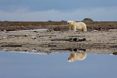 Reflected Bear (c j parry) Tags: reflection svalbard arctic polarbear