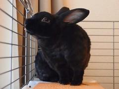 P6110557 (gaspard9614) Tags: black rabbit bunny lapin usagi minirex