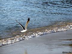 Ara - Porto Belo/SC (Carlos Cruz2011) Tags: praia gaivotas portobelo