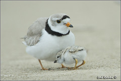 """It's nap time for Peter Piping Plover.. (Earl Reinink) Tags: ontario canada art nature photography nikon flickr photographer image images earl flikr d4 art"""" """"nikon photography"""" images"""" """"nature lens"""" ontario"""" canada"""" ontbirds """"fine """"earl photographer"""" lenses"""" reinink reinink"""" d4"""" niagara"""""""