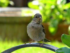 A curious young sparrow (marguerite segond) Tags: nature birds sparrows mussen