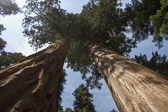 Sequoia National Park (edrodzen) Tags: california ca trees nationalpark sequoia sequoianationalpark ef1635f28l canoneos7d