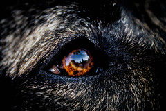 Reto fotografo - Reflection (FaniTorres) Tags: dog pet brown macro reflection eye look animal canon ojo still perro reflejo 1855mm nico mirada marron stillness mascota animali bestinshow supershot specialpicture abovealltherest interestingdogposes ©estefaniatorres