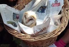 Le petit Maurice (Iris.photo@) Tags: nature oiseau petit chouette effraie