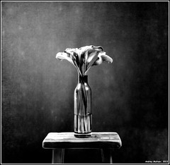 Flower. Yashica-B. ADOX R17. exp:1967. (Andrey Maltsev) Tags: portrait bw flower 120 6x6 film canon flora scan 120film scanned expiredfilm bwfilm middleformat bwportrait oldfilm 8800 blackandwhitefilm r17 greatshots adox yashicab blackandwhiteflower canon8800f excellentsflowers adoxr17 exp1967