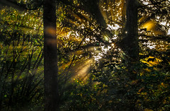 Golden hour in the forest.jpg (docoverachiever) Tags: light sunlight green nature leaves oregon forest gold twilight backyard sunflare flickrchallengegroup