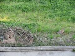 29 Sept 2013 (c.sotoapablaza) Tags: chile animals hare liebres