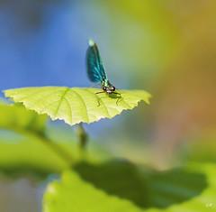 Calopteryx Vierge mle (8). (gille33) Tags: macro nature insect dragonfly insecte libellule libellula calopteryx odonata odonate sonydslra900 mygearandme mygearandmepremium mygearandmebronze blinkagain gillesremus flickrstruereflection1