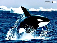 Animal pictures orca wallpapers hd photos killer whales wallpaper (Infoway LLC - Website Development Company) Tags: wallpaper beautiful wonderful nice superb awesome images exotic hd illustrator incredible breathtaking classy mindblowing underwaterpicture softwaredevelopmentcompany ecommercewebdevelopment cartoondolphin whaleswallpaper animalpicturesorcawallpapershdphotoskillerwhaleswallpaper closeupofakillerwhale whalesharkwallpaper romanticdolphinwallpaper dophinswallpaper thedolphinsstar bigwhaledivingunderwater