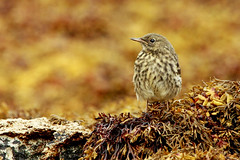 Rock Pipit (forbesimages) Tags: bird rock scotland mull isle pipit