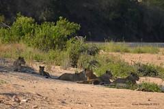 DSC_7883 (Arno Meintjes Wildlife) Tags: africa southafrica wildlife lion safari bigcat predator krugernationalpark krugerpark big5 pantheraleo arnomeintjes