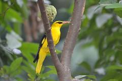 Indian Golden Oriole (Veena-Nair) Tags: india home birds oriole birdphotography beautifulbird backyardphotography custardappletree indiangoldenoriolemale