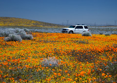 Fields of Flowers (Jeffrey Sullivan) Tags: california park flowers 2002 usa white ford jeff canon state explor