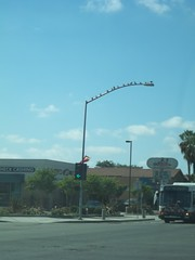 Birds on the left turn signal for Lincoln West to Brookhurst South (FreewayDan) Tags: road losangeles highway freeway southerncalifornia orangecounty trafficsignal