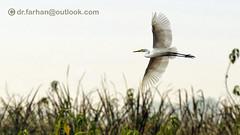 Great Egret (Dr. Farhan) Tags: white heron great egret nikond600 nikkor70200mmf28 headmarala