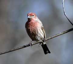 Male house finch (carpingdiem) Tags: birds indianapolis housefinch