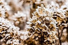 Winter is SEPIA (David Douša) Tags: winter flower ice frost penny icing hydrangea hortensia hydrangeaceae bigleafhydrangea lacecaphydrangea mopheadhydrangea frenchhydrangea