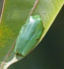 MAD13_00961a (jerryoldenettel) Tags: amphibian frog madagascar treefrog anura 2013 mantellidae boophis boophissp uidtreefrog