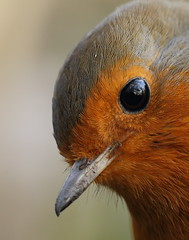 Very close Robin. (bojangles_1953) Tags: