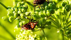 408macro (Hegyaljai Imre) Tags: macro insect makro insekten rovar makr rovarok hegyaljaii