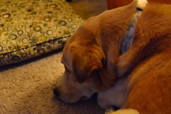 Ozzy (justinsviews) Tags: mix lab pooch