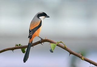 Long-tailed Shrike (Lanius schach) (棕背伯勞)