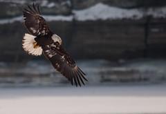 Bald Eagle on the Illinois River (ap0013) Tags: winter snow rock river illinois eagle ottawa baldeagle bald eagles starved starvedrock illinoisriver
