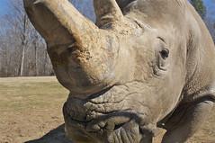Stan the man (ucumari photography) Tags: animal mammal zoo nc north stan stanley rhino carolina february rhinoceros 2014 specanimal ucumariphotography dsc2232 vision:mountain=0516 vision:sky=0724 vision:outdoor=0758 infinitexposure