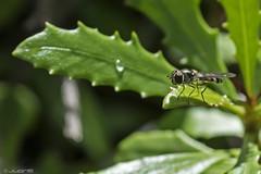 Episyrphus balteatus (juan_e) Tags: insectos macro interesante beautifulmonsters nikond7100