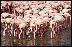 Flamingoes at Ras Al Khor tidal flats : Dubai (Indianature22) Tags: bird nature creek dubai wildlife flamingo uae mangrove dubaicreek greaterflamingo wetland ramsar rasalkhor dubaiemirate indianature ramsarsite rasalkhorwildlifesanctuary uaewildlife dubaiwildlife flamingoesindubai uaewildlifesanctuary rasalkhorflamingoes flamingohiderasalkhor uaeramsarsite dubaicreekwildlife