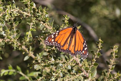 IMG_2828.jpg Monarch butterfly, UCSC Arboretum