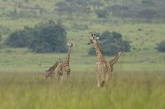 Giraffa camelopardalis rothschildi - Akagera N, RWANDA - 2014-12-29 (brun@x - Africa: birds & more) Tags: africa african rwanda giraffe mammals bruno giraffa portier akagera camelopardalis brunoportier