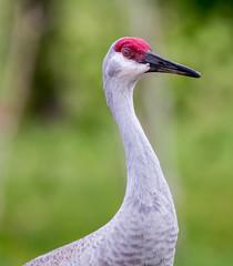 _AAB8789.jpg (Lake Worth) Tags: bird nature birds animal animals canon wings florida wildlife feathers wetlands everglades waterbirds southflorida 2xextender sigma120300f28dgoshsmsports