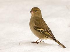Pinson des arbres (fbarz) Tags: france bird union jardin 31 garonne oiseau fringillacoelebs hautegaronne commonchaffinch pinsondesarbres lunion passriformes fringillids