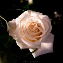 Roses-6.jpg (Boudewijn Vermeulen) Tags: pink flowers roses flower rose soft glow apricot bloemen bloem