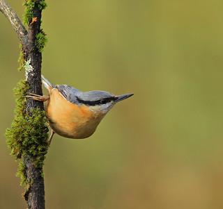 Nuthatch ! Bird on A mossy Stick !!