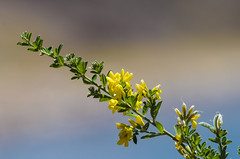 . (arcibald) Tags: lake plant flower peru titicaca playa andes puno capachica chifron