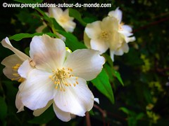 Fleurs printanires (peregrinationsautourdumonde) Tags: white france flower nature fleur europa europe ledefrance blossom antony blanc