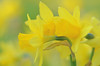 Daffodils in the Park (pallab seth) Tags: park england flower macro london nature garden spring dof bokeh daffodil barking signofspring springgarden 2013 barkingpark tamronaf90mmf28dispam11macro nikond7000 tamronaf90mmf28dispam11macrolens