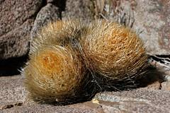 Neoporteria garaventae (Umadeave) Tags: chile cactus montagne plante flora chili desert flore lacampana eriosyce neoporteria garaventae