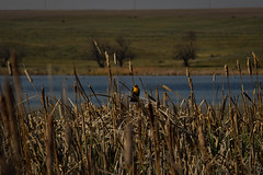 Flash of Color (cutthroatsrule) Tags: yellow montana cattails marsh blackbird broadview