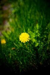 Yellow & Green (vinnie saxon) Tags: flower green nature grass yellow closeup nikon bokeh d600 bokehlicious nikoniste